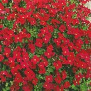Aubrieta Royal Red - 1 gram - Bulk Discounts available